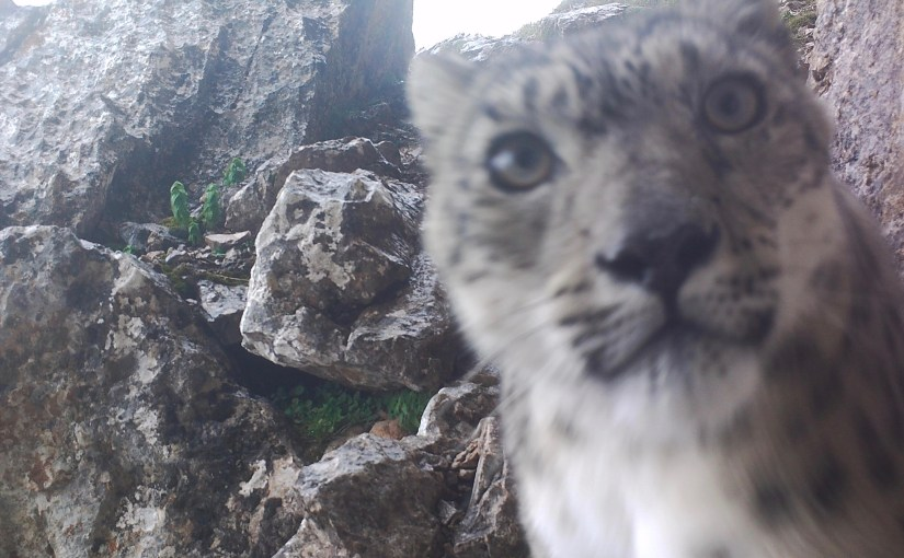 Snow Leopard Caught on Camera