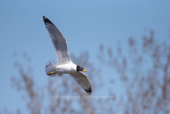 2019-03-13 Pallas's Gull in flight, Shahe (Lou Fangzhou)