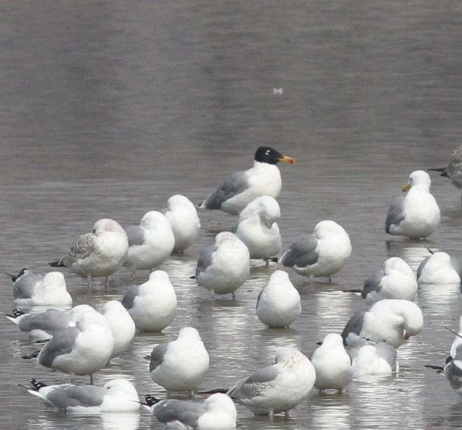 2019-03-18 Pallas's Gull, Shahe (CM)