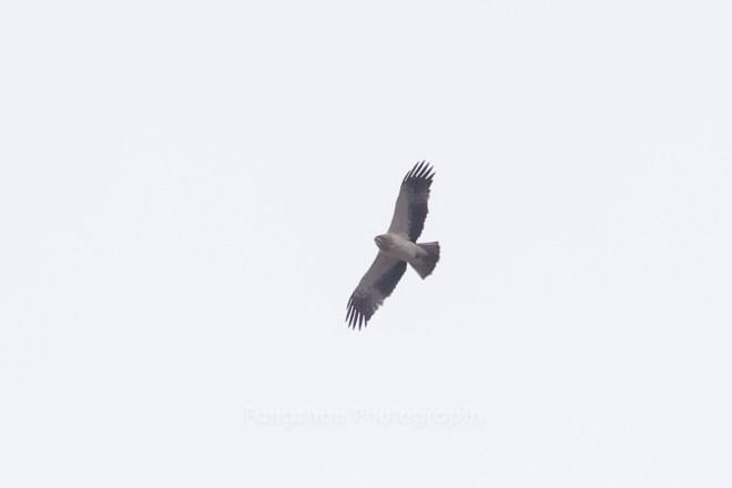 2019-03-28 Booted Eagle, Baiwangshan (Lou Fangzhou)