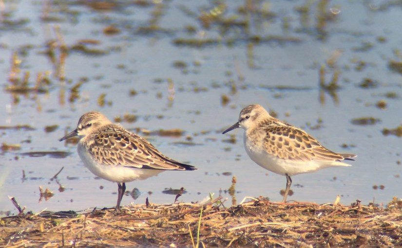 Red-necked Stint vs Little Stint