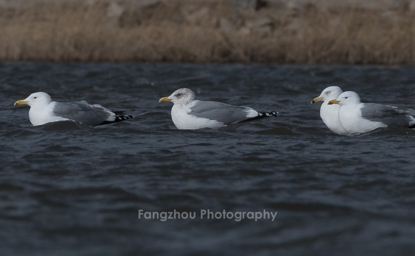 First documented record of Vega Gull in Beijing