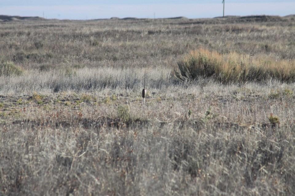 Lesser Prairie-Chicken habitat
