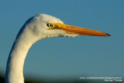09 BIRDERS H Tolosa-Garza blanca (Ardea alba)