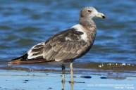 28 BIRDERS H Tolosa-Gaviota cangrejera (Larus atlanticus)