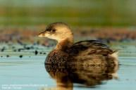 31 BIRDERS H Tolosa-Macа pico grueso (Podilymbus podiceps)