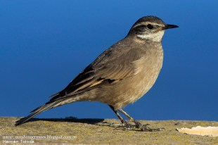 56 BIRDERS H Tolosa-Remolinera comгn (Cinclodes fuscus)