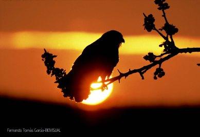04 BIRDINGMURCIA - Biovisual - cernicalo