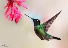 06 Joy Murillo - birdingmurcia