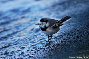 19 I. Arnaldos-birdingmurcia