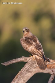 birdingmurcia-Arnold Moolenaar 06