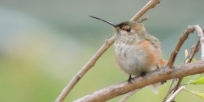 Female Allen's Hummingbird