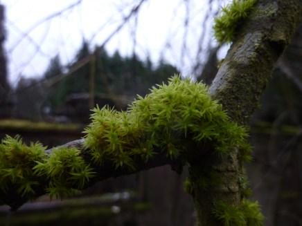 Green Yoke-moss - Zygodon viridissimus