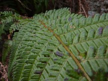 Scaly Male-fern
