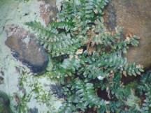 Sea Spleenwort