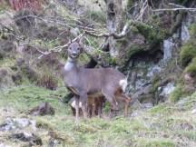 Roe Deer, the culprits