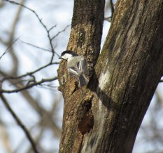 Black-capped Chickadee - High Cliff 4-14-2015