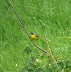 Gray-crowned Yellowthroat - Costa Rica 3-18-2015