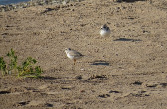 Early morning lifers - Piping Plovers in Sheboygan 8-15-2015