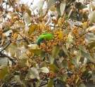 Golden-browed Chlorophonia (female)