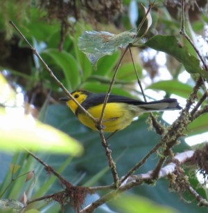 Collared Redstart - Costa Rica 3-19-2015