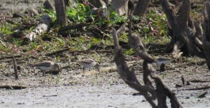 White-rumped Sandpipers