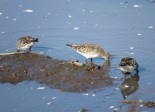 White-rumped Sandpipers 10-25-2015