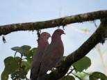 Red-billed Pigeons 3-20-2015