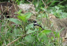 White-collared Seedeater - Costa Rica 3-21-2015
