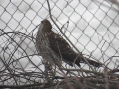 Cooper's Hawk - Menasha, WI 1-21-2016