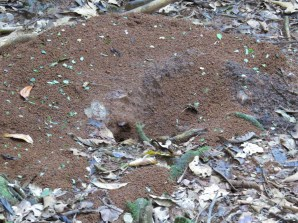 Leafcutter Ant Mounds - Costa Rica 3-22-2015