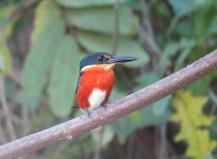 American Pygmy Kingfisher (male) - Costa Rica 3-22-2015