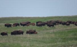 Buffalo - Ordway Memorial Prairie, South Dakota 5-27-2016