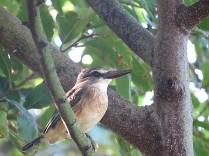 Brown-hooded Kingfisher, False Bay