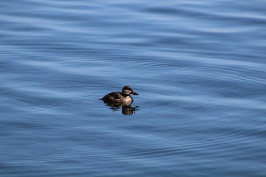 Ruddy Duck (Image by David Horowitz)