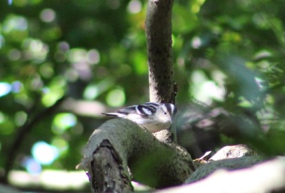 Black and White Warbler (Image by David Horowitz)