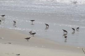 Sanderling flock (Image by David Horowitz)