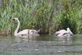 Mute Swans (Image by David Horowitz)