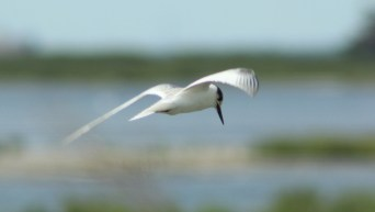 A Tern (Least?) preparing to dive (Image by David Horowitz)