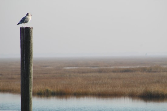 Ring-billed Gull on a Hazy Day (Image by David Horowitz)