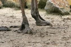 Ostrich feet (Image by Arjan Haverkamp via wikipedia)