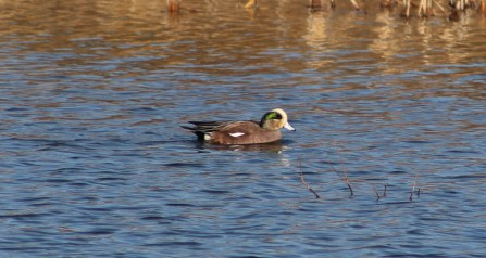 American Wigeon (Image by BirdNation)