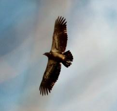 Juvenile Bald Eagle (Image by David Horowitz)