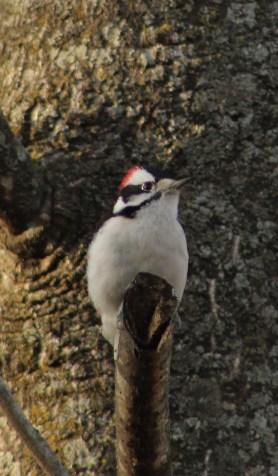 Male Downy Woodpecker (Image by David Horowitz)