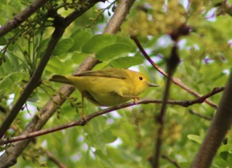 Yellow Warbler female (Image by David Horowitz)
