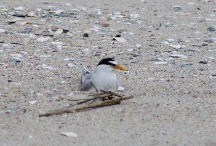 Least Tern on its nest (Image by David Horowitz)