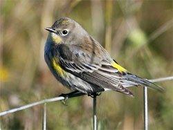 """Yellow Rumped Warbler"""