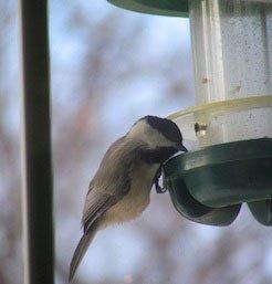 A Fun Backyard Bird Feeding Experiment