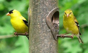 Where Have All My Goldfinches Gone?