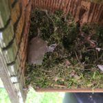 tufted titmouse nest 2